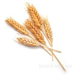 Закупаю пшеницу фуражную с хозяйств и элеваторов Харьковской области.