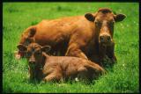 КРС (быки, телки и коровы) живым весом