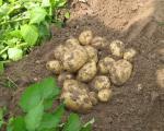 картофель продовольственный, картофель посадочный