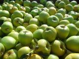 Предлагаем яблоки от производителя