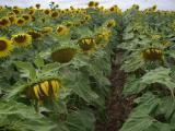 Семена подсолнечника Mirasol Seed (Испания) от официального представителя в Украине - компании Der Trey