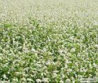 Семена гречихи гречки Антарія Син 3_02 Слобожанка