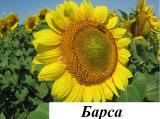 Пропонуємо насіння соняшнику Барса (112 – 116 дн)