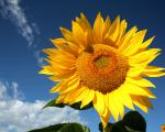 Посівний матеріал соняшника (під гранстар)