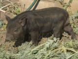 поросята корейские (кармал) свиньи