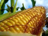 Гібрид кукурудзи Вн 63