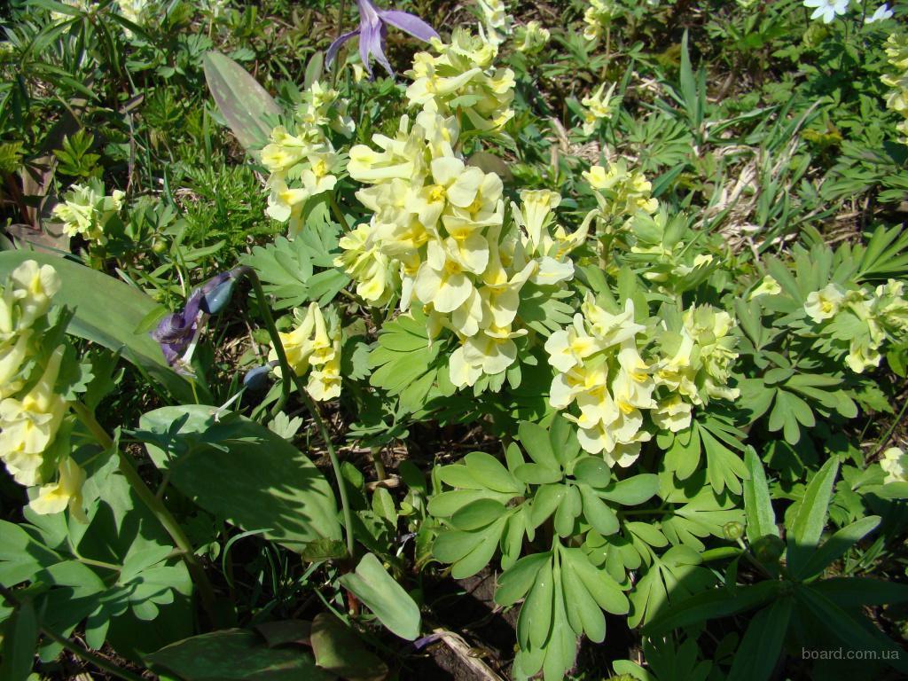 Хохлатка крупноприцветниковая с желтыми цветками. Почтой по России и СНГ.