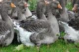 Предлагаем комбикорм для уток и гусей