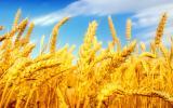 организация на выгодных условиях приобретает Зерновые Масличные культуры