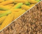 Пропонуємо насіння кукурудзи