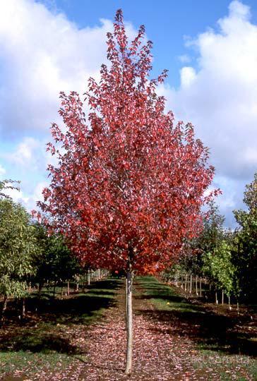 Деревья декоративные для озеленення