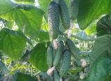 Продам семена Огурец Изумрудные серёжки F1