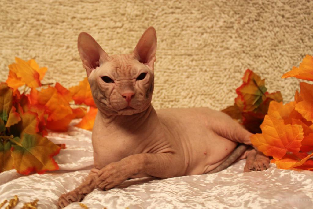 Предлагаю кота донского сфинкса для вязки