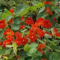 Продам семена Настурция Индийский вождь