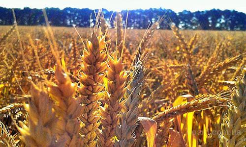 Срочно закупаем зерновые и масличные по Украине