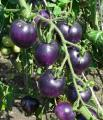 Продам семена Томат Синий солнечный свет