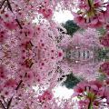 Спа тур Закарпатье майские выходные, Косино, Берегово, Долина нарциссов, Ужгород сакура май