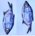 Рыба вяленая, соленая, тарань сушеная, лещ, толстолоб