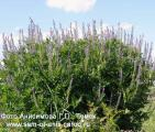 Козлятник восточный - лекарственное и декоративное растение.