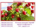 Саженцы ремонтантной малины Августовское чудо