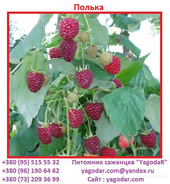 "Саженцы ремонтантной малины ""Полька"""