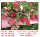 Саженцы малины Каскад Делайт