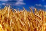 Куплю кукурузу,ячмень,пшеницу,овес по Луганской области