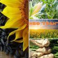 Гібриди соняшнику ультраскоростиглі від фірми Гран