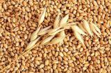 Закупаю пшеницу и ячмень с хозяйств и элеваторов Харьковской области.