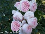 троянди різних сортів