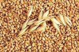 Куплю ячмень и пшеницу (фуражную, 3 кл), можно проблемную (головня). на элеваторах. Форма оплаты любая