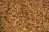 Пшеница озимая Подолянка остистая, элита, 1 реп Харьков