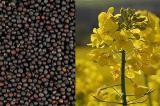 Пропонуємо насіння ріпаку, стійкого до раундапу - Клеопатра