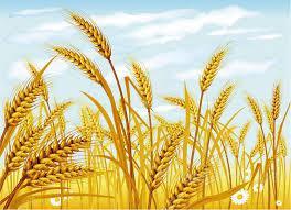 Закупаем пшеницу 2,3,4,5,6 кл.( фураж) оптом по всей Украине.