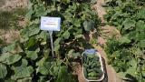 семена овощей, цветов весом