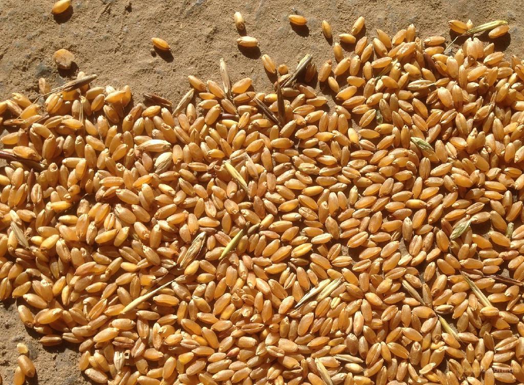 На постоянной основе продаём пшеницу.