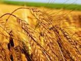 Внимание! Дорого закупаем пшеницу!