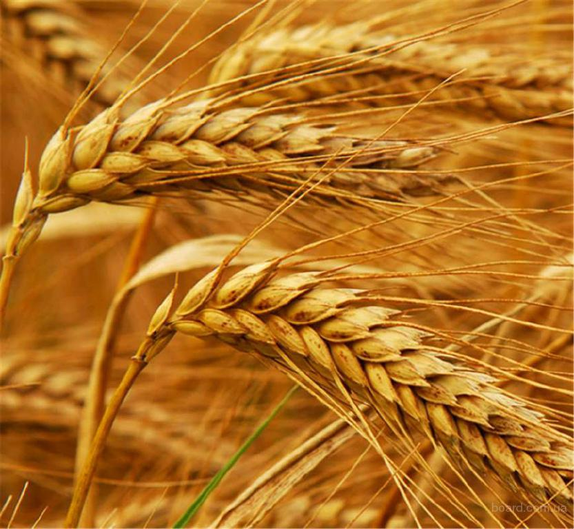 Продам озиму пшеницю(посів.мат)