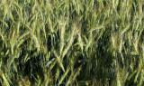 Насіння озимої пшениці Лист 25