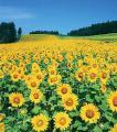 Семена подсолнечника Украинское сонечко