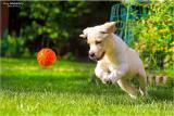 Продажа палевых щенков лабрадора в Украине