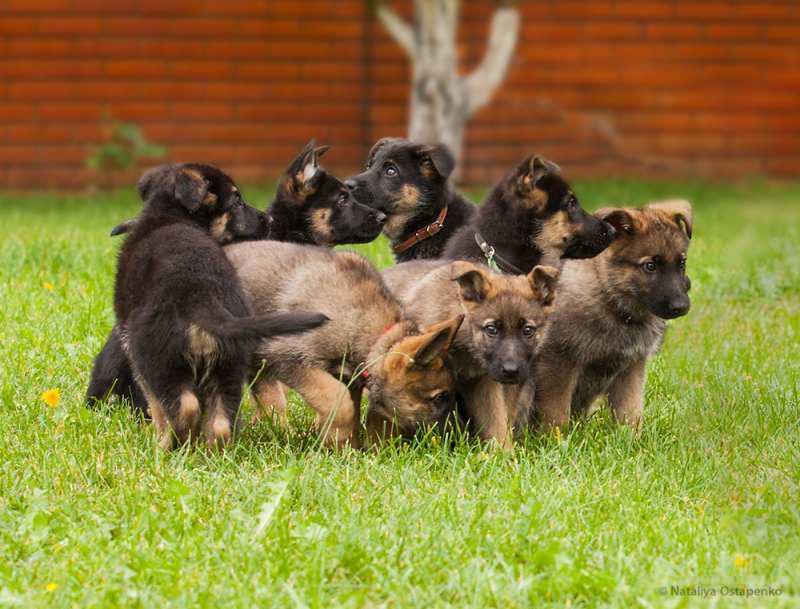Продажа щенков немецкой овчарки зонарного и чепрачного окрасов.