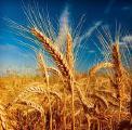 Закупаем Пшеницу любого качества По Хорошей Цене!!!!