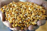 Закупаем Кукурузу любого качества По Хорошей Цене!!!