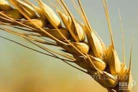 Закупаем пшеницу 2,3,4,5,6 классов, постоянно у сельхозпроизводителей и первых посредников, по всей Украине!!!