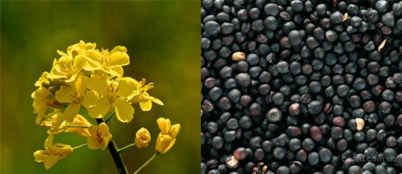 Компания Закупит Рапс без ГМО, по Хорошей Цене, на всей территории Украины!!!