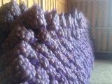 Картофель оптом от производителя Розалинд, Беларосса 5+