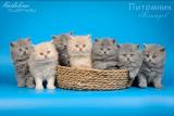 Британские длинношерстные котята купить