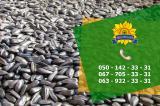 Насіння кукурудзи Дніпровський 181 СВ від ПБФ «Колос»