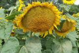 Насіння соняшнику карат